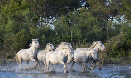 Camarguehäst – kompakt och kraftfull