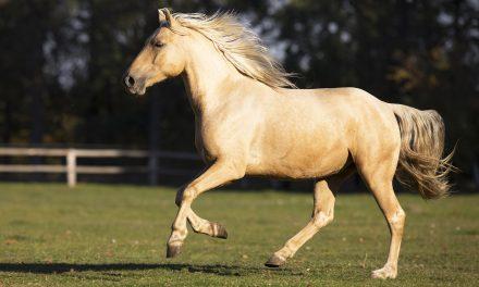 Hästens färger – hur nedärvs de?