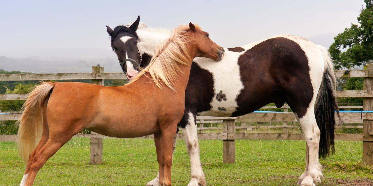 Språket hästar emellan