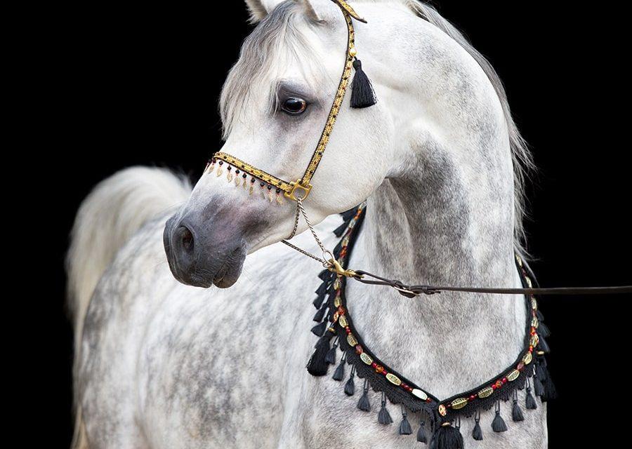 Arabiskt fullblod – elegant och livlig
