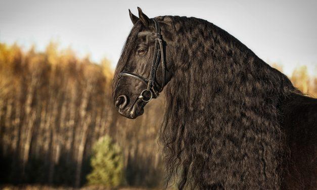 Frieserhäst – de dansande hästarna