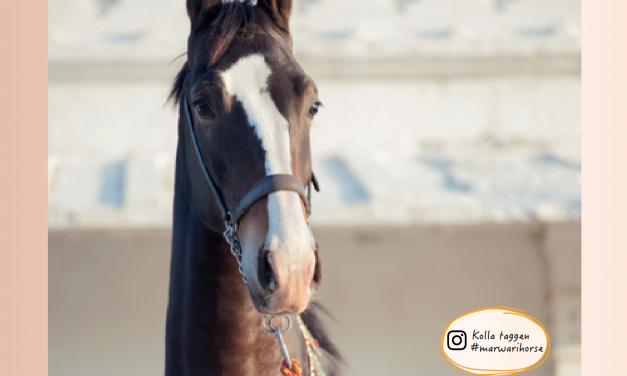 Marwari – hästarna med tulpanöron