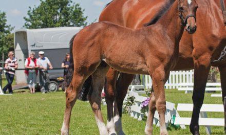 Westfalisk häst
