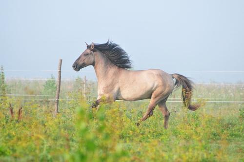 Basjkirhäst