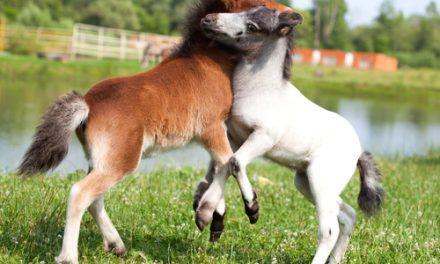 Nya hästraser